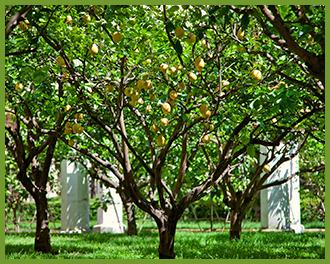 Lemon-tree-2