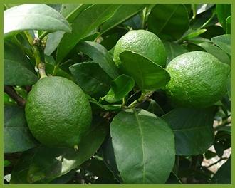 Lime-1.jpg