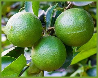 Lime-2.jpg