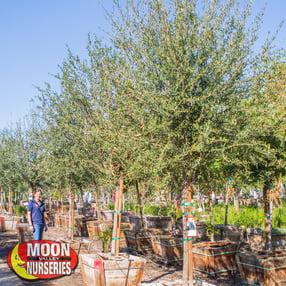 live oak, tree,