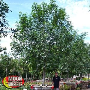 MAJESTIC ash tree