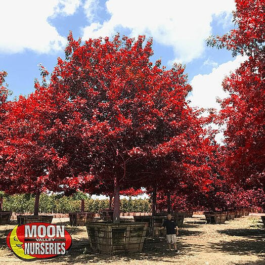 red maple tree in container at nursery farm