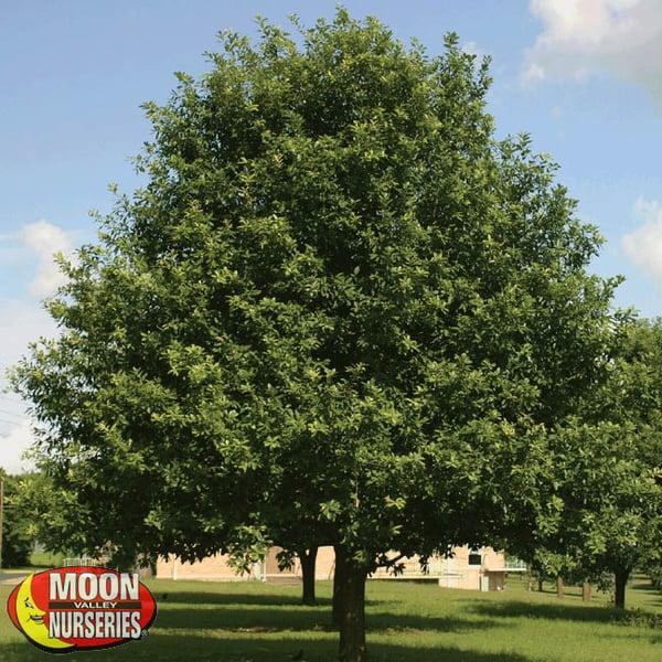 mexican oak moon valley nurseries texas oak trees