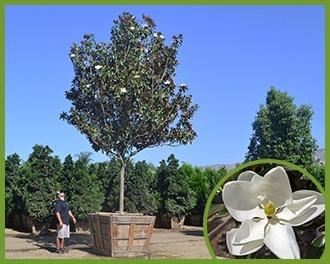 Magnolia-1.jpg