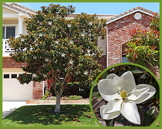 Top trees for white flowers in spring and summer magnolia mightylinksfo