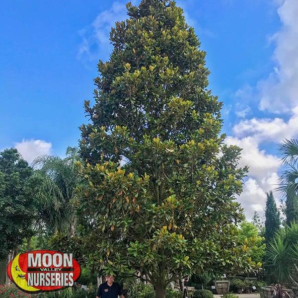 Magnolia-7