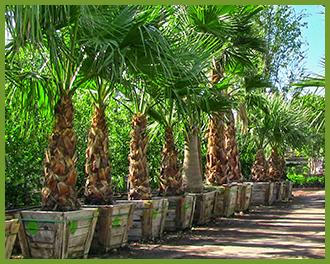 Mexican-Fan-Palm-4-1.png