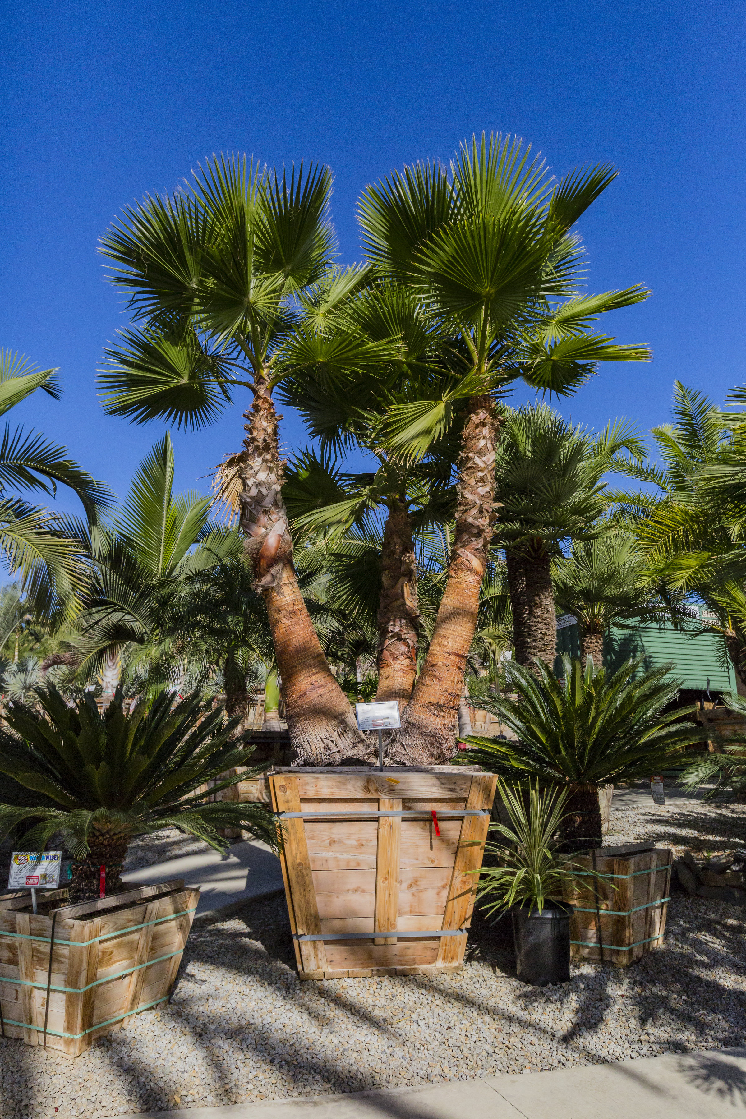 mexican_fan_palm_multi_trunk