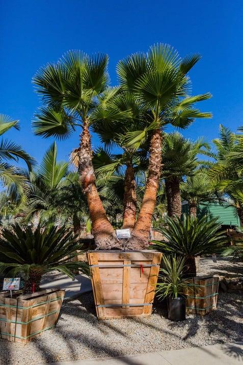 Mexican-Fan-Palm-Multi-Trunk