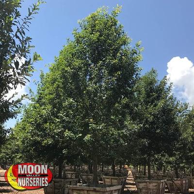 Monterrey Oak-1