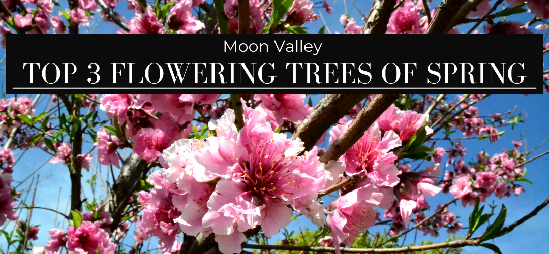 Moon Valley's top picks for flowering trees of spring