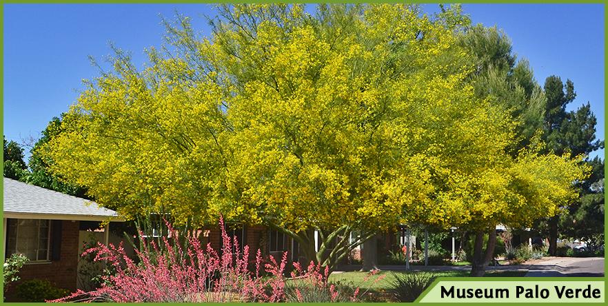 Moon valley nursery blog flowering trees tipu museum palo verde thevetia and more mightylinksfo