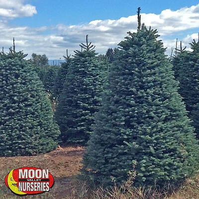 NOBLE FIR, moon valley nurseries, christmas trees