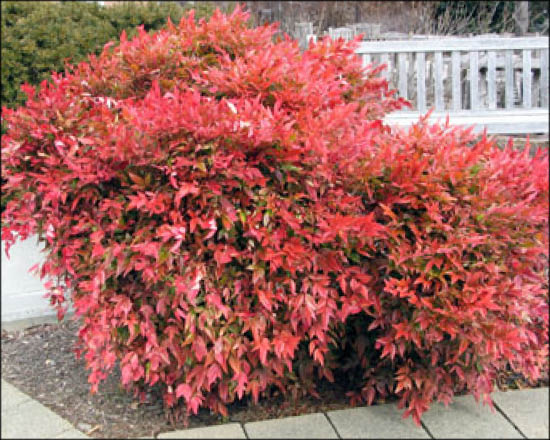nandina_gulf_stream_heavenly