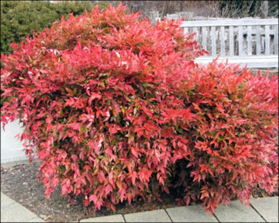 Nandina domestica 'Gulf Stream' heavenly bamboo winter color in landscape