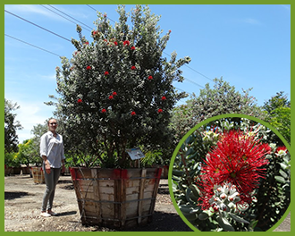 New-Zealand-Chrismtas-Tree.png