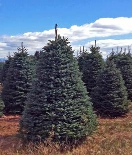 Noble_Fir_Christmastrees_farm_