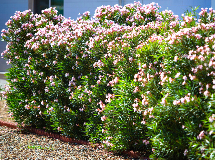 Flowering Oleander bushes for privacy hedges and landscape borders