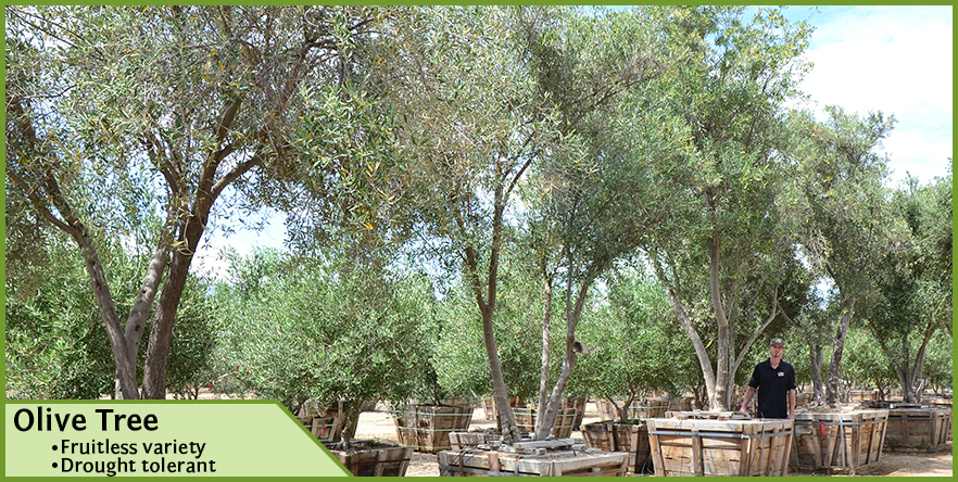 Olive-Tree-6.png