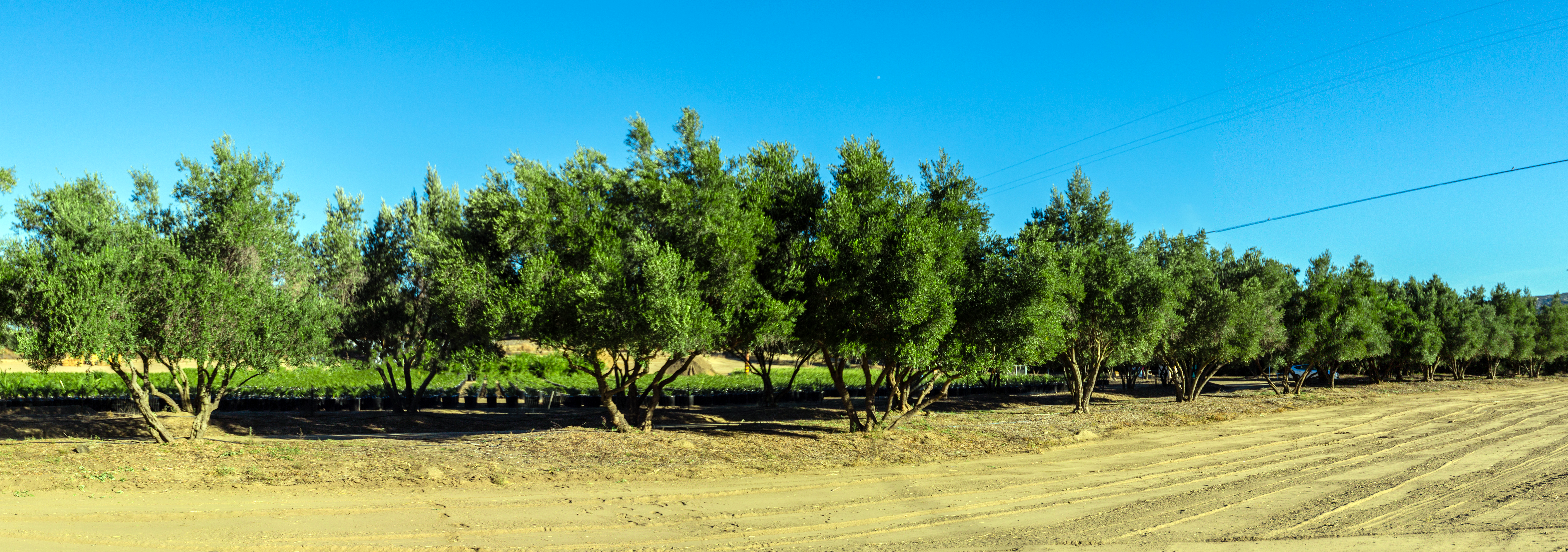 Olive_trees_farm
