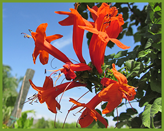 Orange-Cape-Honeysuckle.png