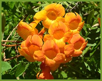 Orange_Jubilee.png