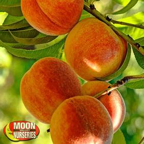 stone fruit trees, peach tree, plum tree, nectarine tree, gardening, organic