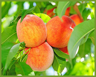 Peach-Tree-1.png