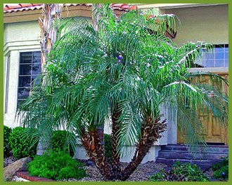 Pgymy-palm-1.png