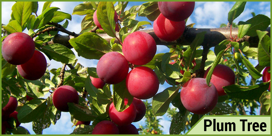 Plum-Tree.png