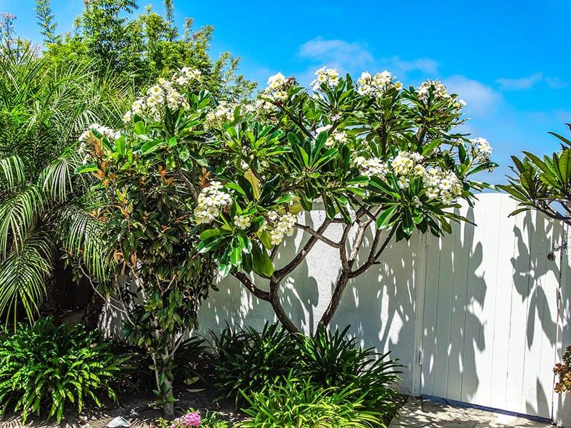 Plumerias More Than Beautifully Fragrant Flowers