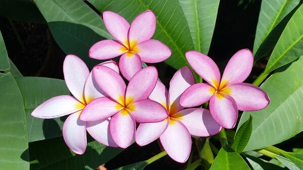 Plumeria in bloom at nursery