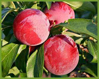 Plums-2.png