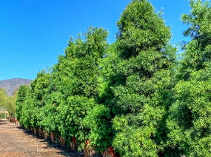 Podocarpus Fern Pine for Privacy Hedges