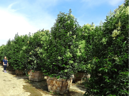 Japanese Privet trees for Privacy hedges