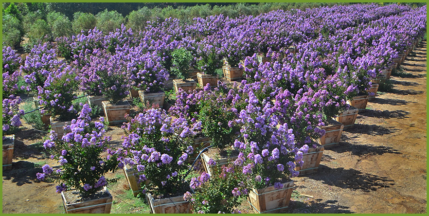 Top trees for purple flowers in spring and summer purple flowers crape myrlteg mightylinksfo