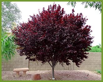 Purple-Leaf-Plum-1.png