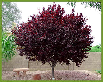 Arizona Trees Living Gardening Outdoors Pinterest Purple Leaf Plum February Landscape Garden Tips