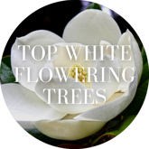 Top White Flowering Trees