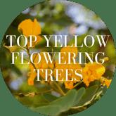 Top Yellow Flowering Trees