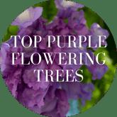 Top Purple Flowering Trees