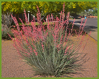 Red-Yucca.png