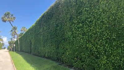 ficus columns hedge row