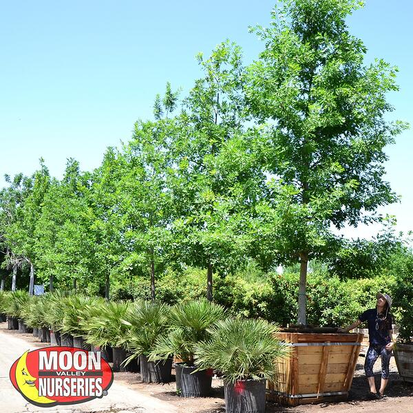 Shumard Oak at moon valley nurseries