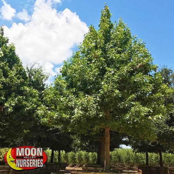 Shumard Oak oak tree moon valley nurseries
