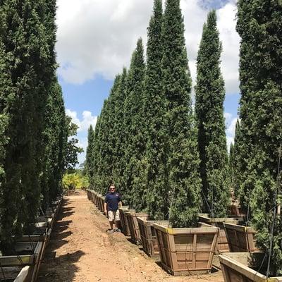 Italian Cypress-2