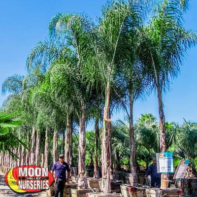 Piru queen palm