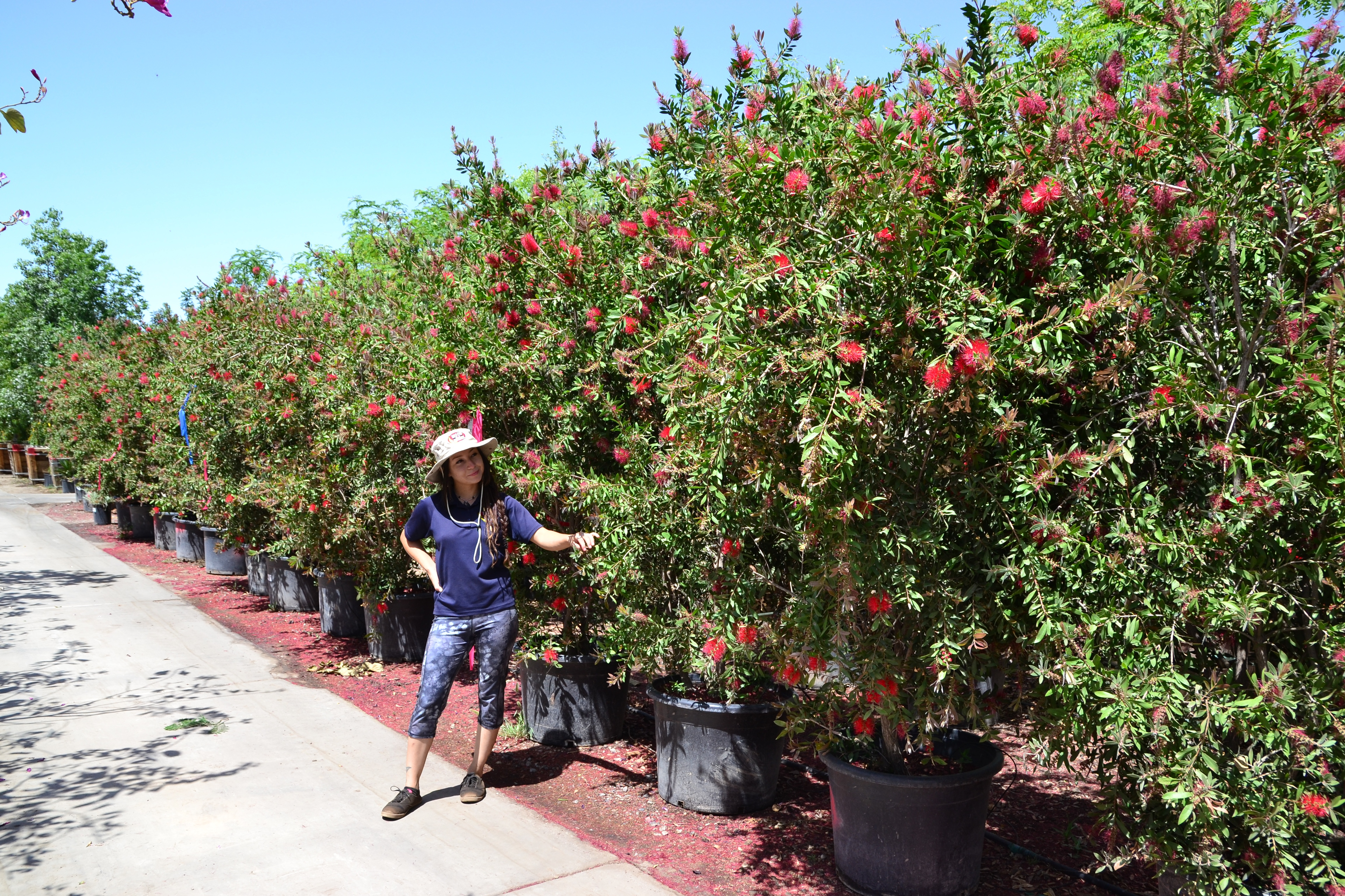 bottlebrush hedge nursery row