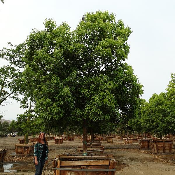 camphor trees in planter box