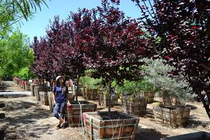 purple leaf plum nursery row (2)-no logo-1